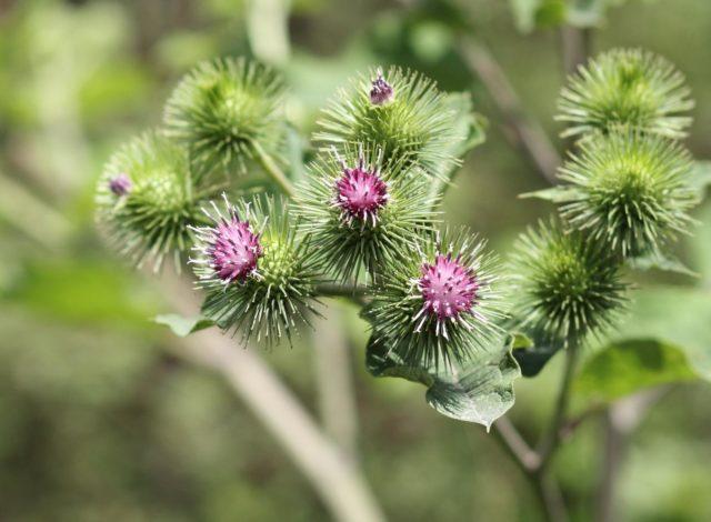 Целебными свойствами обладают все части репейника: цветы, листья, корневище