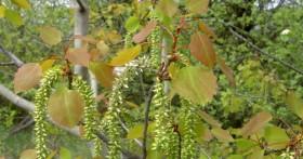 Листья осины в борьбе с геморроем