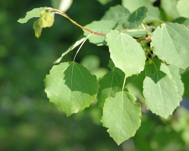 Осина недолговечное растение