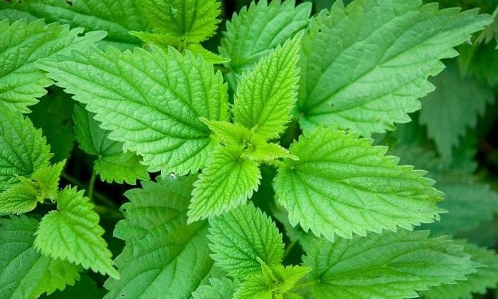 Целебный крапивный чай следует готовить из листьев столь популярного лекарственного растения