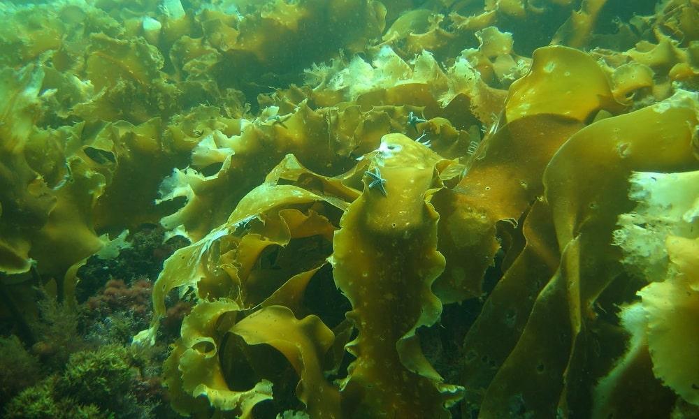 Из морепродуктов самой полезной для здоровья является морская капуста (ламинария)