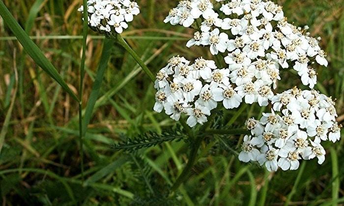 Для изготовления лекарственного сбора нужно взять в равной пропорции сушеные цветки пижмы и стебли тысячелистника