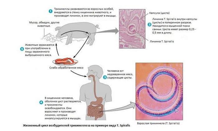 Многие виды способны к перемещению в мышцы и другие органы через кровь. Например, трихинеллы, которыми можно заразиться при поедании свинины